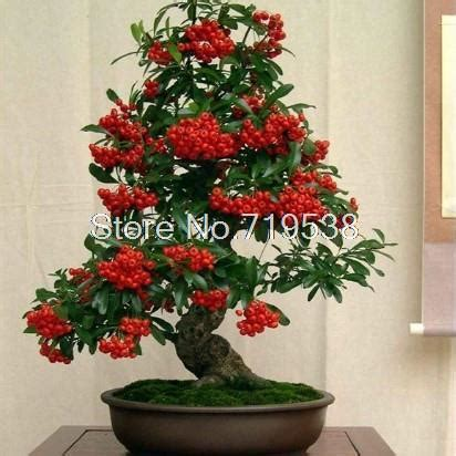 bonsai 10 seeds live flowering house plant indoor garden balcony flowers indoor potted plants pyracantha bonsai