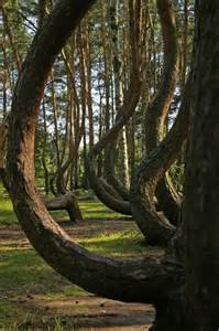 the crooked forest poland forest for the trees pinterest