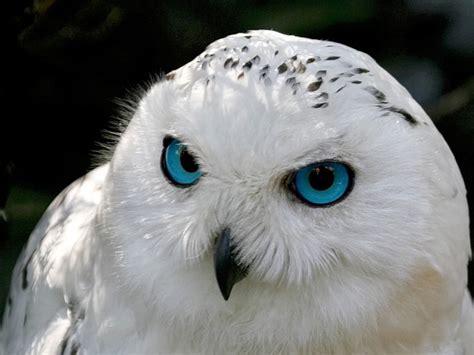 xoch tattoo instagram jigsaw puzzle snowy owl