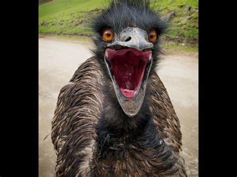 emu latest funny video  zoo emu  comedy hd video