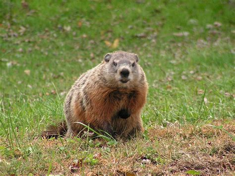 happy groundhog day meaning happy groundhog day animals
