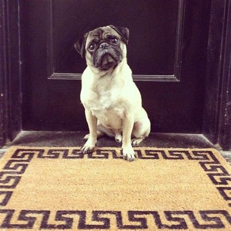 do pugs drool 84 best images about is better with a pug on puppys pug and