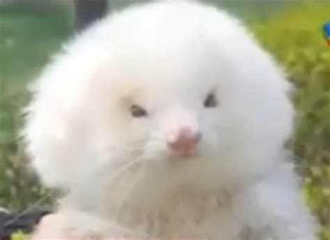 man buys toy poodle dog  turns     fluffy