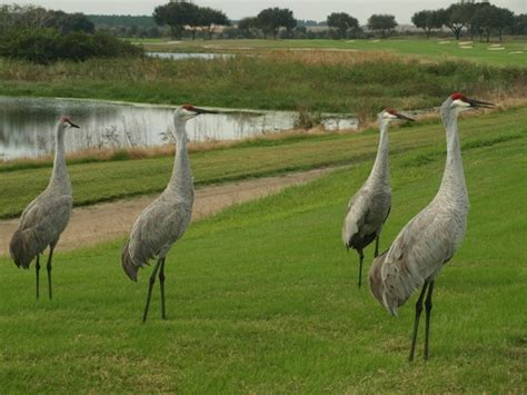 sandhill crane golf course in the international course at chionsgate offers a taste