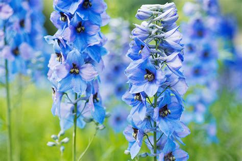 how to grow delphinium larkspur the garden
