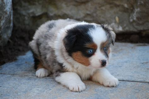 undocked australian shepherd puppies for sale the 25 best miniature australian shepherds ideas on miniature australian