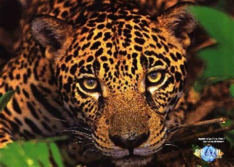 imagenes de un jaguar informaci 243 n sobre el ex 243 tico jaguar