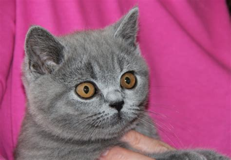 blue kittens for sale blue shorthair kitten for sale dunmow essex