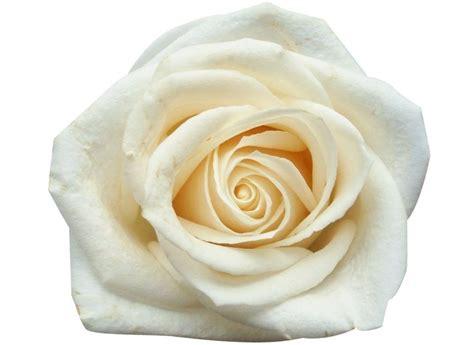 rosa blanca rose blanche rosa blanca rosas individuales