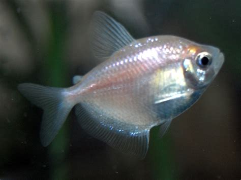 my beggars tropical fish forums