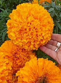 marigolds shade marigold day of the dead orange quot cempazuchitl quot buy online at annie s annuals