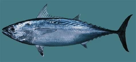 diketahui tentang ikan tongkol kelautan
