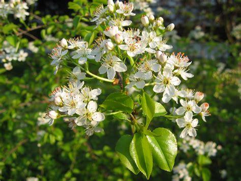 Rosa Bl Hender Baum 2259 by Strauch Mit Wei 223 En Bl 252 Ten Strauch Mit Wei En Bl Ten Der
