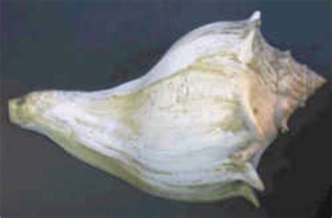 Knobbed Whelk Facts by New Jersey State Shell Knobbed Whelk Busycon Carica Gmelin