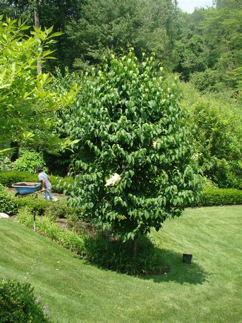 lilac tree ivory silk japanese tree lilac a tree for all seasons