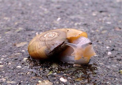 terrestrial snail pictures about animals terrestrial land snail