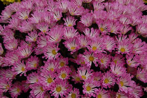 chrysanthemum flowers hd wallpaper flowers wallpapers