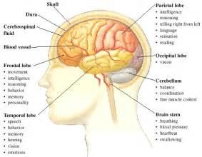parts of the brain yara s website