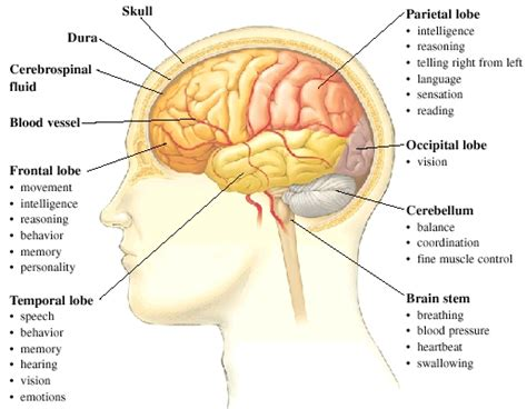 All Sections Of by Parts Of The Brain Yara S Website