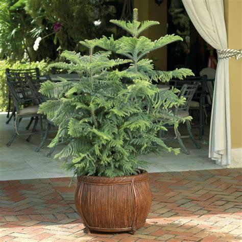 indoor tree planter great indoor trees hgtv