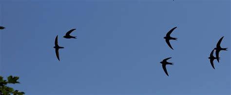 Cd Suara Walet Koloni Dalam suara walet asli alam untuk memancing walet datang suara walet
