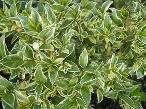 pianta di mirto in vaso mirto pianta aromatiche coltivazione mirto