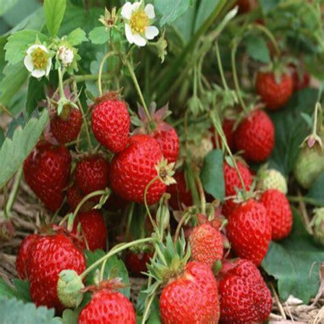 Harga Strawberry by Jual Pohon Strawberry Harga Murah Strawberry17