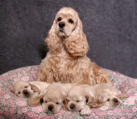 American Cocker Spaniel Puppies Pictures Picture And Images