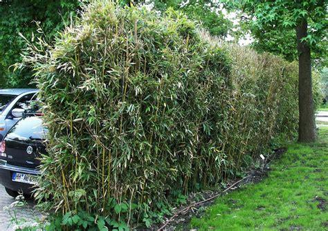 Pflanzen Sichtschutz Schnellwachsend schnellwachsende sichtschutzpflanzen