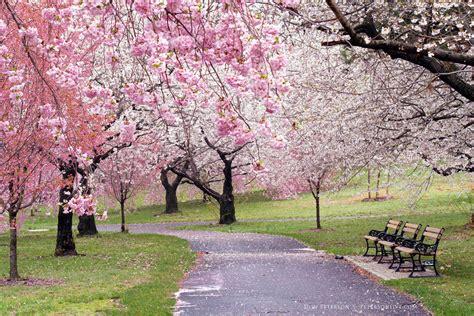 cherry blossom festival dc essex county cherry blossom festival http petersonlive
