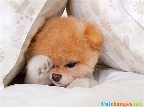 the world s cutest puppy boo the world s cutest name cuteimages net