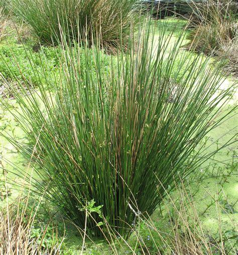 Soft Grass plants flowers 187 juncus effusus