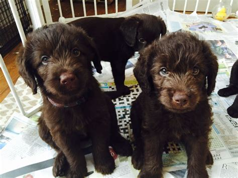 doodle newmarket chocolate miniature labradoodle puppies newmarket