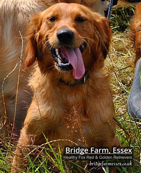 essex golden retrievers bridge farm essex golden retriever puppies ponies