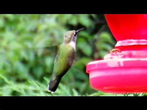 hummingbirds fight yellow jackets youtube