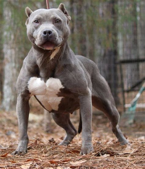 a pit pitbull pittbulls