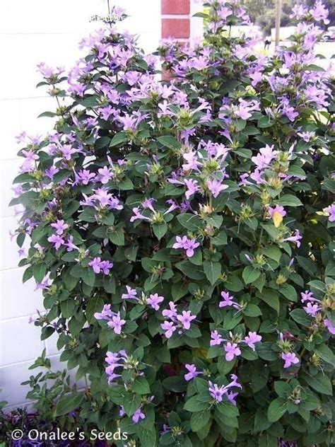 barleria cristata phillipine violet zone   sun