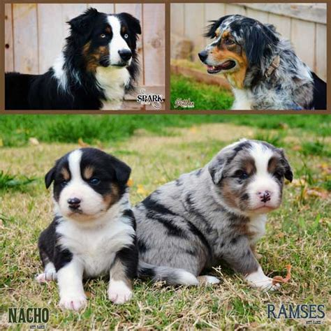 australian shepherd puppy for sale australian shepherd puppies for sale