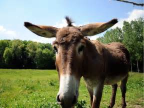 Donkey wallpapers fun animals wiki videos pictures stories