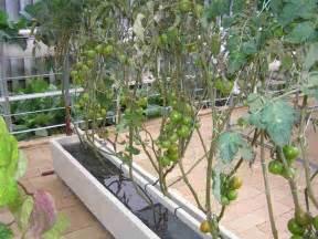 home hydroponics apollo tomatoes in tomato tub