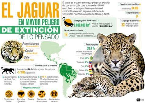 imagenes de jaguar en peligro de extincion el jaguar en mayor peligro de extinci 243 n de lo pensado