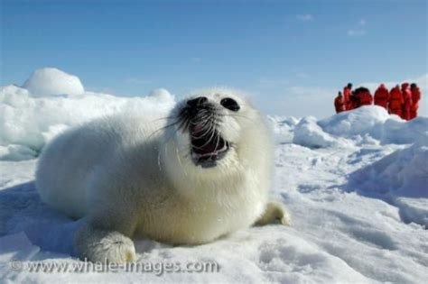 Baju Trail Viking baby harp seal gulf of st whale imagescom auto design tech