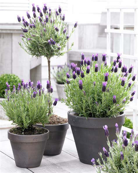 lavender container garden gardening gardening gardening 187 lavender a treat for
