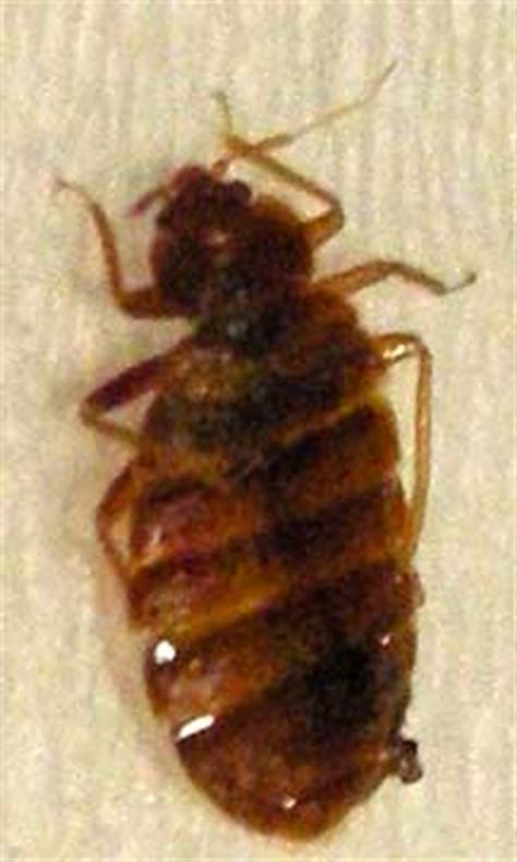 what s good for bed bugs bed bug what s that bug