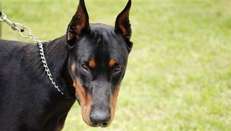 phobia of dogs 8 tips on how to get a fear of dogs as per animal experts