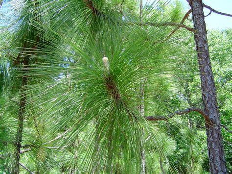 trees nc leaf pine carolina official state trees