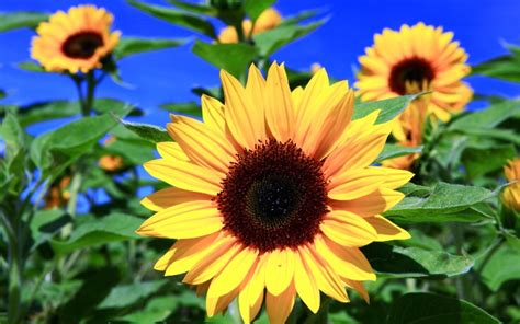 Bunga Matahari Sunflower 20 gambar bunga matahari atau sunflower paling indah