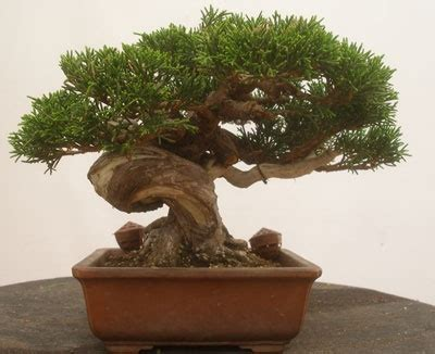 japanese small tree bonsai aging beautiful and alive