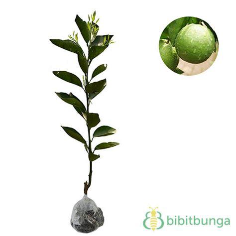 Madurasa Jeruk Nipis 2 Pcs tanaman jeruk nipis jumbo jual tanaman hias