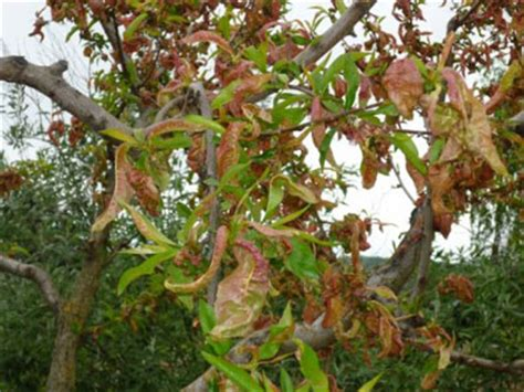 fruit tree leaf curl treatment weather is a factor erickson ranch